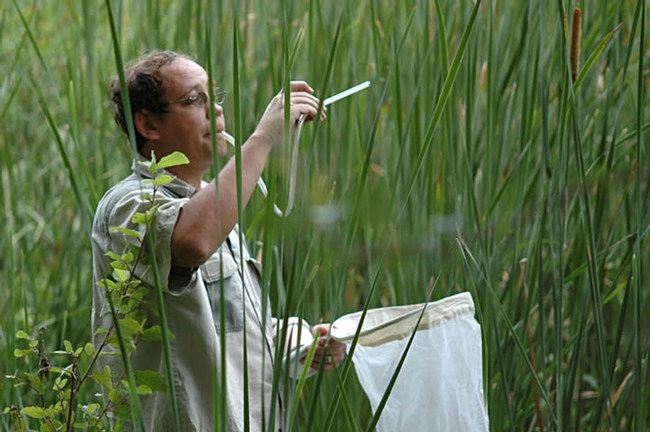 UC Davis medical entomologist Anthony Cornel collecting mosquitoes. (Photo by Rory McAbee)