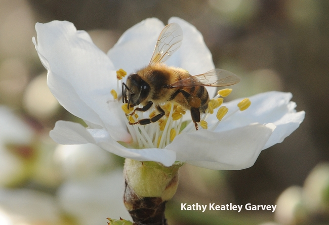 Honey bee working an almond blossom at UC Davis. (Photo by Kathy Keatley Garvey)