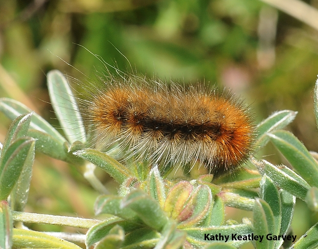 Close-up of woolly bear caterpillar on yellow lupine on Bodega Head, Sonoma County. (Photo by Kathy Keatley Garvey)