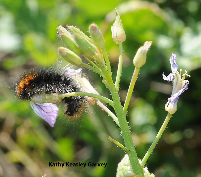 Woolly bear caterpillar on wild radish on Bodega Head, Sonoma County. (Photo by Kathy Keatley Garvey)