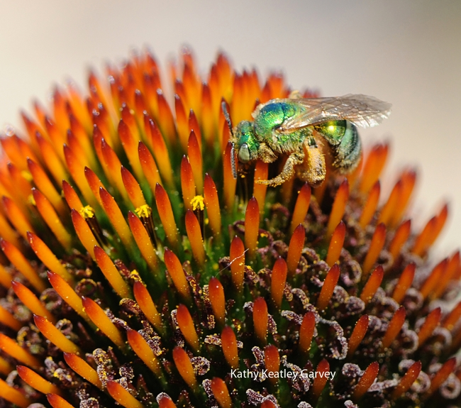 A green sweat bee (Agapostemon texanus) on a cone flower at the Haagen-Dazs Honey Bee Haven. (Photo by Kathy Keatley Garvey)