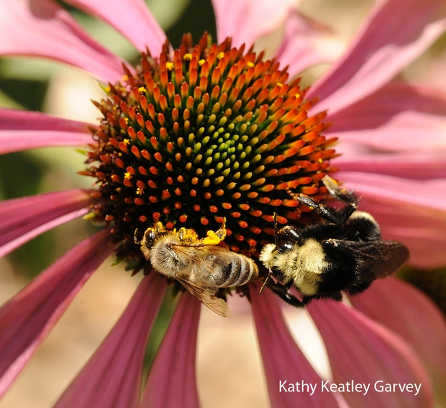 Honey bee and yellow-faced bumble bee (Bombus vosnesenskii) sharing a cone flower in the Haagen-Dazs Honey Bee Haven. (Photo by Kathy Keatley Garvey)