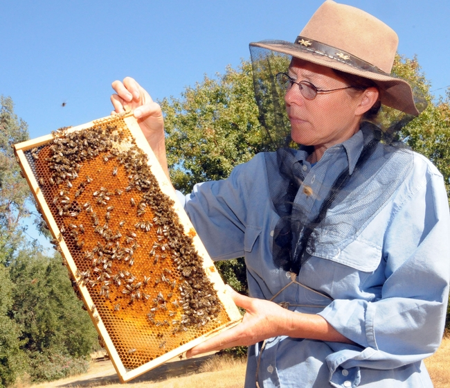 Bee breeder-geneticist Susan Cobey holding frame at the Harry H. Laidlaw Jr. Honey Bee Research Facility, UC Davis. (Photo by Kathy Keatley Garvey)