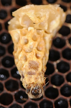 Queen bee emerging from her peanut shell-liked cell. (Photo by Kathy Keatley Garvey)