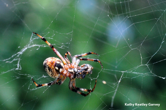 A garden spider spinning a web. (Photo by Kathy Keatley Garvey)
