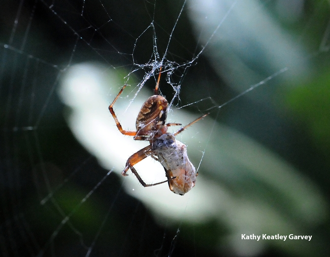 Garden spider wrapping its prey. (Photo by Kathy Keatley Garvey)