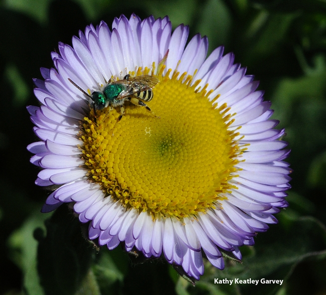 Male green sweat bee, Agapostemon texanus, nectaring on a seaside daisy, the Erigeron glaucus Wayne Roderick at Tomales Bay. (Photo by Kathy Keatley Garvey)