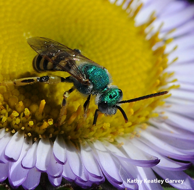 Close-up of metallic green sweat bee, a male. (Photo by Kathy Keatley Garvey)