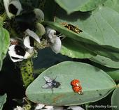 Count the insects! Ladybugs, a European paper wasp, blow fly and aphids are all over the fava beans in the Haagen-Dazs Honey Bee Haven. (Photo by Kathy Keatley Garvey)