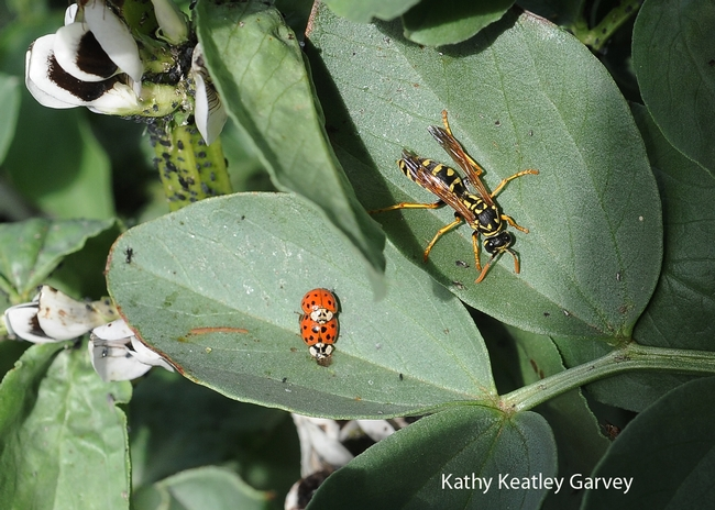 European paper wasp and a pair of ladybugs in the Haagen-Dazs Honey Bee Haven. (Photo by Kathy Keatley Garvey)