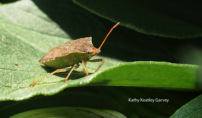 Stink bug occupies a fava bean leaf. (Photo by Kathy Keatley Garvey)