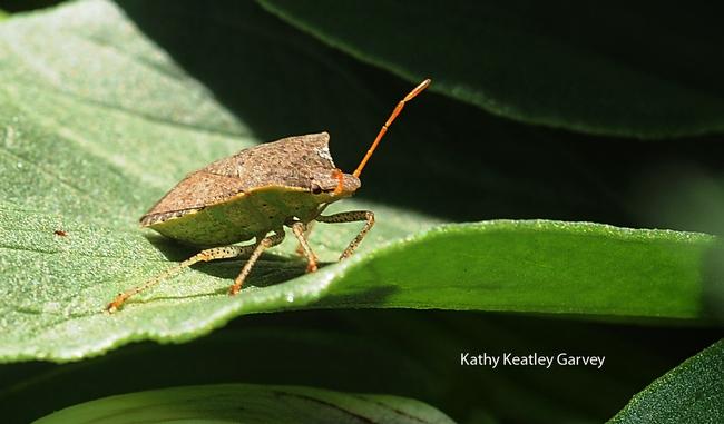 Stink bug occupies a fava bean leaf. (Photo by Kathy Keatley Garvey)