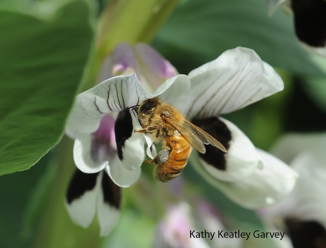 Honey bee foraging on the fava beans. Note the gray load of pollen.(Photo by Kathy Keatley Garvey)