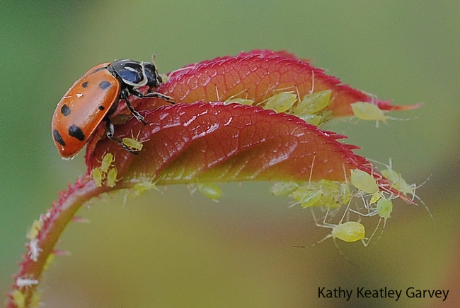 Ladybug devouring an aphid on a rose bush. (Photo by Kathy Keatley Garvey)