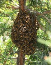 Honey bee swarm in the North Hall/Dutton Hall complex at UC Davis. (Photo by Kathy Keatley Garvey)
