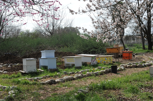 View of the Davis Bee Sanctuary. (Photo by Kathy Keatley Garvey)