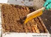 A thriving honey bee colony. (Photo by Kathy Keatley Garvey)