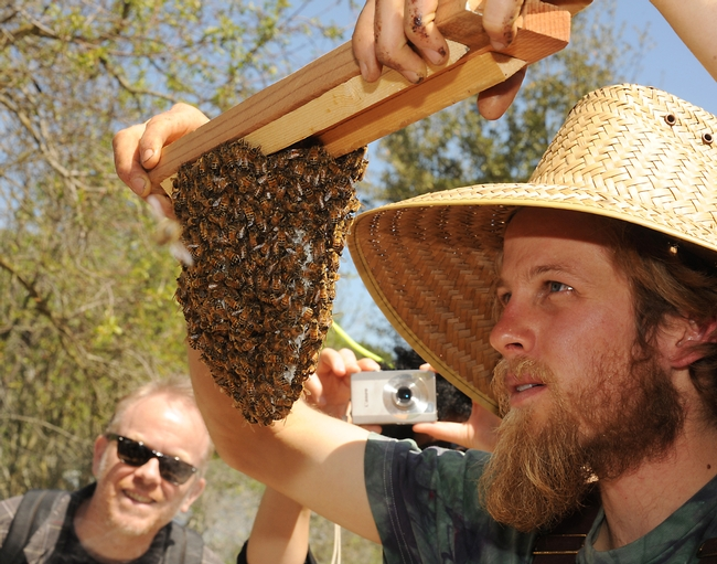 Derek Downey checks the cluster on a newly hived colony. (Photo by Kathy Keatley Garvey)