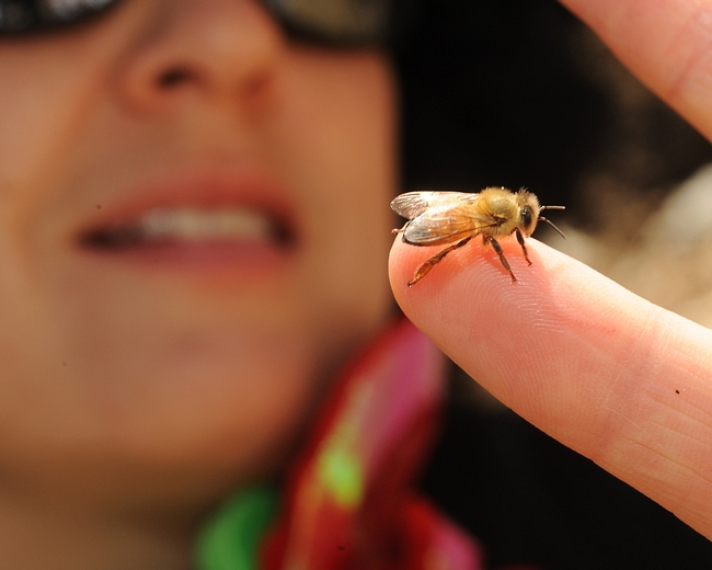 First-year beekeeper Eva Dopico, a second-grade teacher in Davis, examines one of her newly emerged bees. (Photo by Kathy Keatley Garvey)