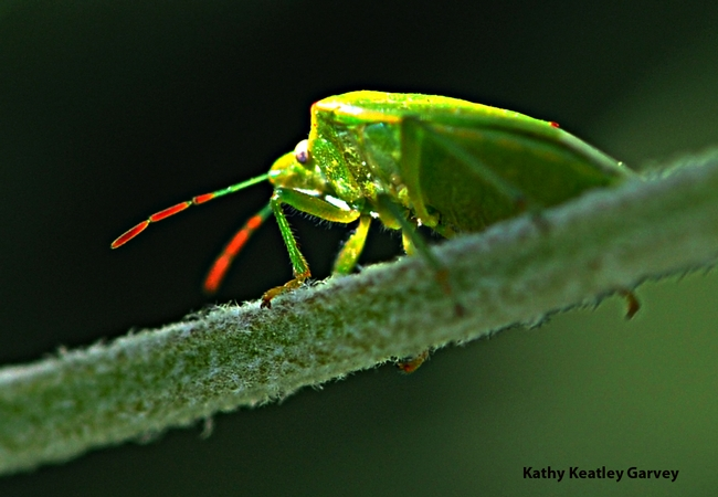 A red-shouldered stink bug peers at the camera.(Photo by Kathy Keatley Garvey)