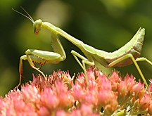 Praying mantis figured in some of the questions. (Photo by Kathy Keatley Garvey)