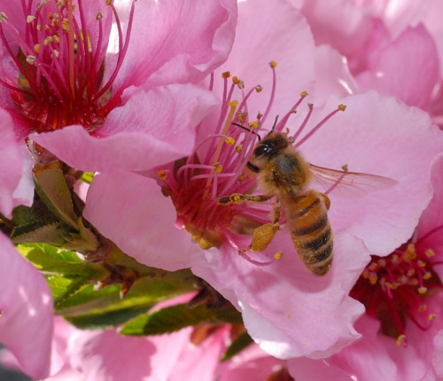 Bee and Nectarine Blossom