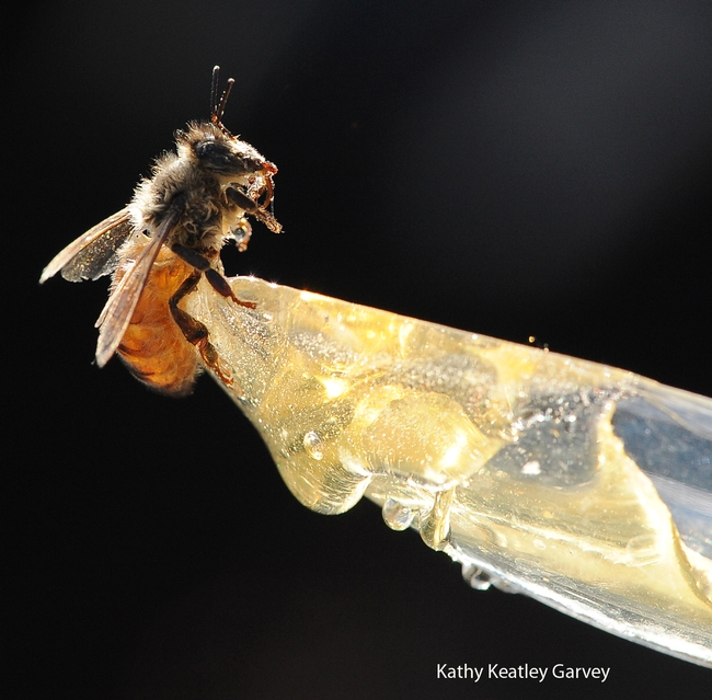 Drenched honey bee gets ready to sip honey from a plastic spoon. (Photo by Kathy Keatley Garvey)