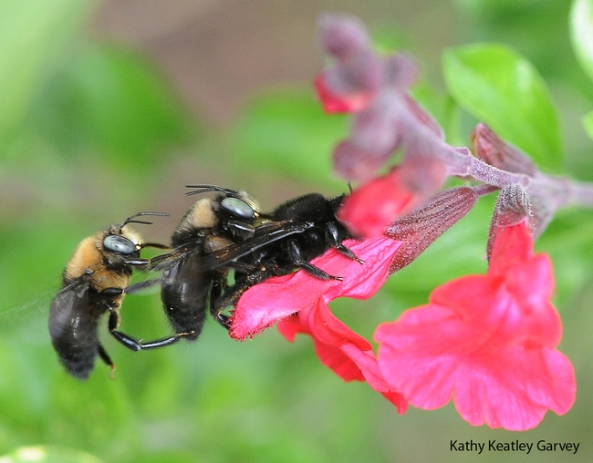 Two male carpenter bees, Xylocopa tabaniformis orpifex, with a female on salvia. (Photo by Kathy Keatley Garvey)
