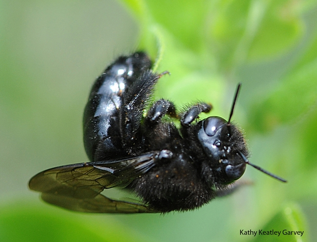 Close-up of female carpenter bee, Xylocopa tabaniformis orpifex. (Photo by Kathy Keatley Garvey)