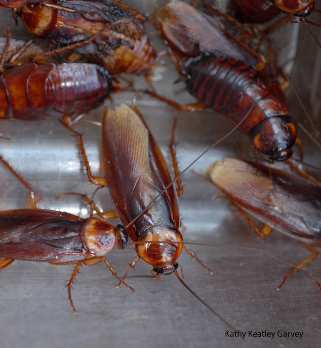American cockroaches will compete in the cockroach races. (Photo by Kathy Keatley Garvey)
