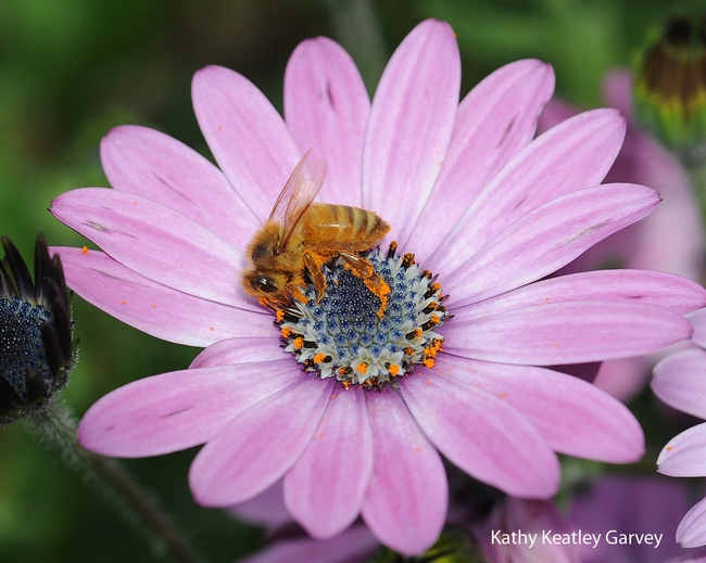 Honey bee collecting pollen on an African daisy. (Photo by Kathy Keatley Garvey)