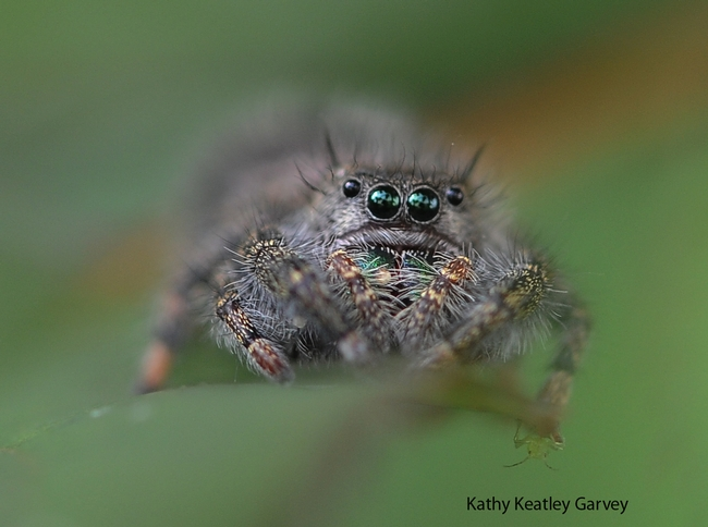 A jumping spider perched on a rose leaf. (Photo by Kathy Keatley Garvey)