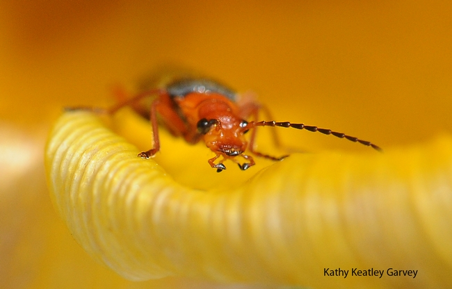 A soldier beetle peers at the camera. (Photo by Kathy Keatley Garvey)