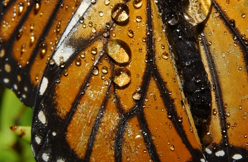 Close-up of Rain on Butterfly Wings