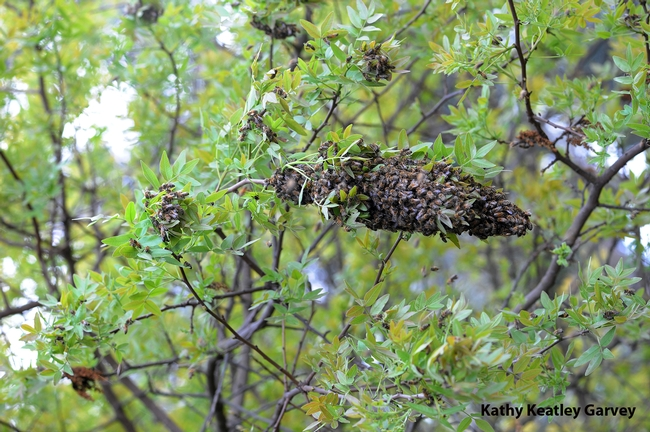 Honey bee swarm on the Harry H. Laidlaw Jr. Honey Bee Facility grounds on Friday the 13th. (Photo by Kathy Keatley Garvey)