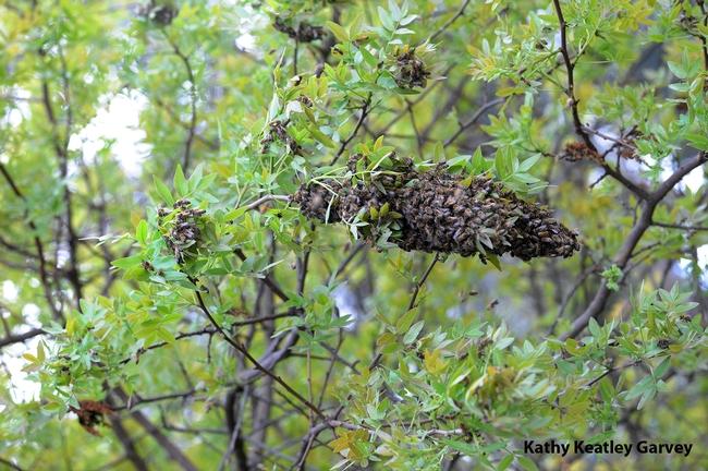 Honey bee swarm on the Harry H. Laidlaw Jr. Honey Bee Facility grounds on Friday the 13th. (Photo by Kathy Keatley Garvey)