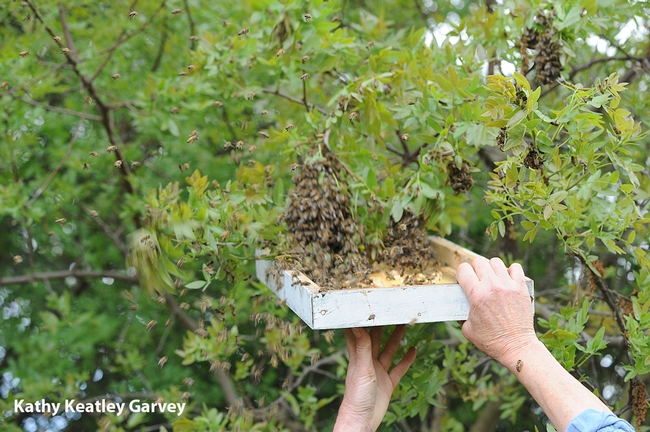 Bee breeder-geneticist Susan Cobey catches the swarm. (Photo by Kathy Keatley Garvey)