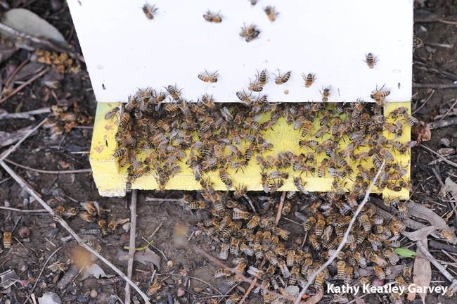 Bees enter a strategically placed hive. (Photo by Kathy Keatley Garvey)