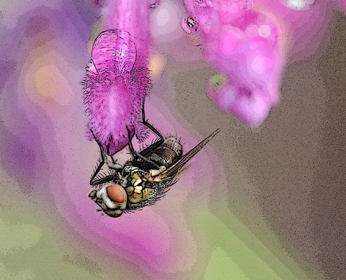 THE FLY--A fly on sage, posterized through Photoshop. (Photo by Kathy Keatley Garvey)