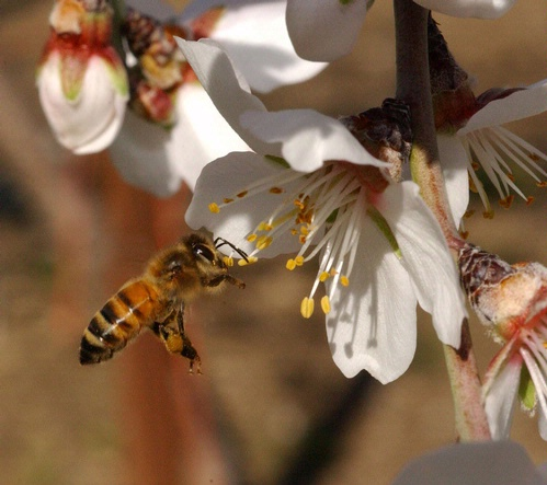 Bee-Line to an Almond Blossom