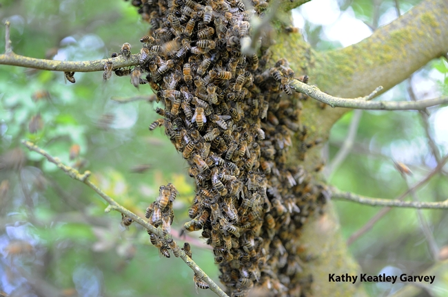 Bee swarm in a tree at the Harry H. Laidlaw Jr. Honey Bee Research Facility at UC Davis. (Photo by Kathy Keatley Garvey)