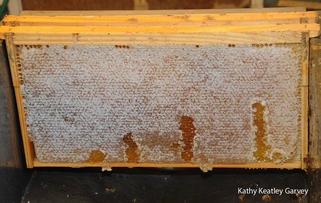 UC Davis honey ready to be extracted last fall. (Photo by Kathy Keatley Garvey)