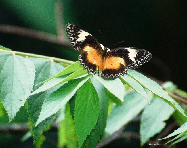 Malay Lacewing butterfly (Cethosia hypsea). Photographed by Richard Tenaza and identified by professor/butterfly expert Arthur Shapiro of UC Davis.