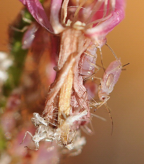 APHIDS ON GAURA--These aphids are feasting on a gaura. (Photo by Kathy Keatley Garvey)