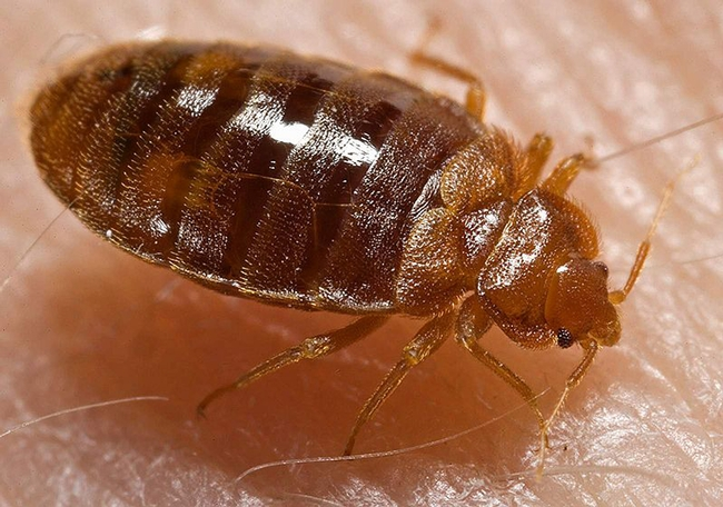 """Bed bug, Cimex lectularius, shown here ingesting a blood meal from the arm of a """"voluntary"""" human host, is wreaking havoc locally, nationally and globally.(Photo by Piotr Naskrecki, published by Centers for Disease Control and Prevention on the Wikipedia website.)"""