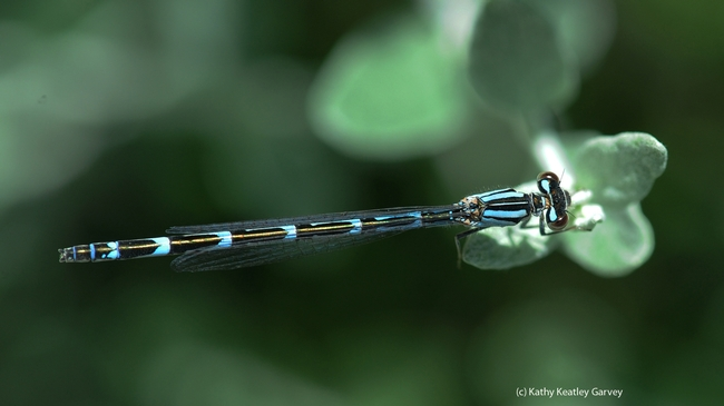 Common blue damselfly. (Photo by Kathy Keatley Garvey)