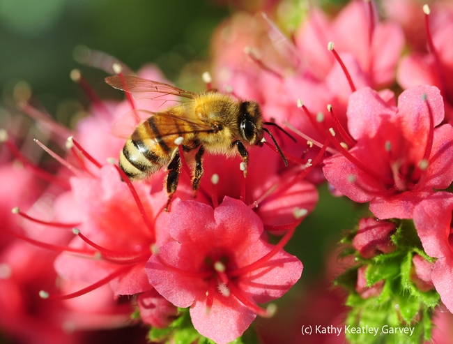 Honey bee foraging in a tower of jewels. (Photo by Kathy Keatley Garvey)