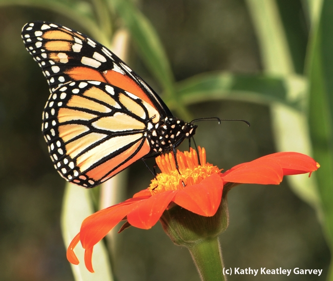 A monarch butterfly foraging on a Mexican sunflower in the Haagen-Dazs Honey Bee Haven, UC Davis. (Photo by Kathy Keatley Garvey)