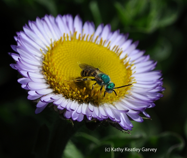 Male metallic green sweat bee, Agapostemon texanus, nectaring on a seaside daisy, Erigeron glaucus Wayne Roderick.  (Photo by Kathy Keatley Garvey)