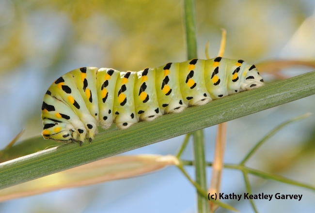 This is the caterpillar (larval stage) of the anise swallowtail. Bohart Museum visitors can make (free) colorful paper/chopstick caterpillar crafts on May 12.  (Photo by Kathy Keatley Garvey)